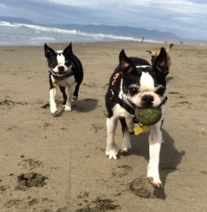 Small dogs with ball at beach