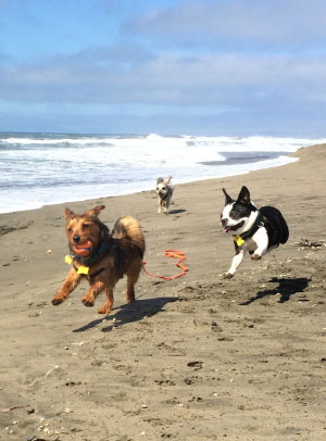 small dogs playing at beach