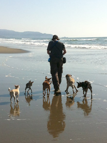 Dog pack walking down beach at Fort Funston