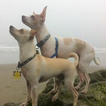 dogs attentive on walk